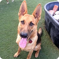 Adopt A Pet :: Shep - Newport Beach, CA