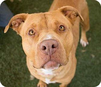Pit Bull Terrier/Labrador Retriever Mix Dog for adoption in Los Angeles, California - SUSAN B