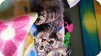 Domestic Longhair Kitten for adoption in Virginia Beach, Virginia - Remington