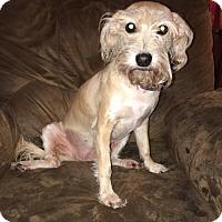 Adopt A Pet :: Piper - Ardmore, OK