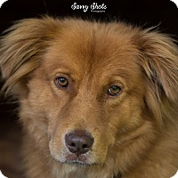 Golden Retriever/Chow Chow Mix Dog for adoption in Greensburg, Pennsylvania - Hobbs