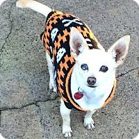 Adopt A Pet :: Little Sandy - Austin, TX