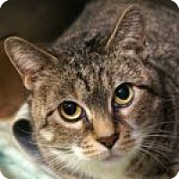 Adopt A Pet :: Miss Kitty - Medford, MA
