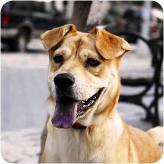 Shar Pei/Labrador Retriever Mix Dog for adoption in New York, New York ...