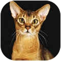Abyssinian Cat for adoption in San Ramon, California - Natasha
