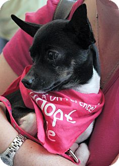 Chihuahua Mix Dog for adoption in Baton Rouge, Louisiana - Sadie