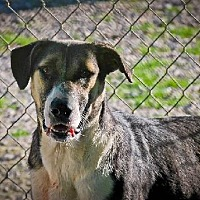 Labrador Retriever/Australian Shepherd Mix Dog for adoption in Ringoes, New Jersey - Mandy