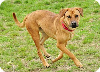 Labrador Retriever/Mountain Cur Mix Dog for adoption in Hillsboro, Texas - Lacey