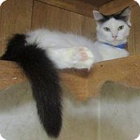 Adopt A Pet :: Oreo (Turkish Van mix) - Witter, AR