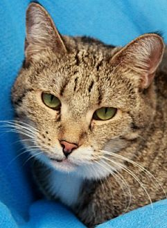 Domestic Shorthair Cat for adoption in Savannah, Missouri - Jules