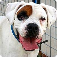 Adopt A Pet :: Patch - Dallas, TX