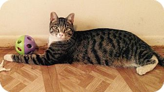 Domestic Shorthair Cat for adoption in Alhambra, California - Ty