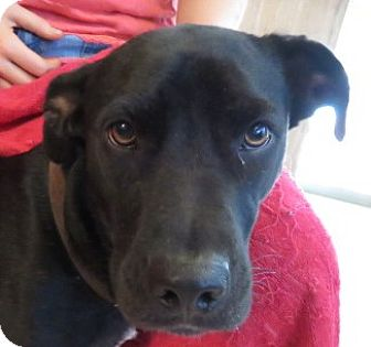 Labrador Retriever/Patterdale Terrier (Fell Terrier) Mix Dog for adoption in St Petersburg, Florida - Orion!