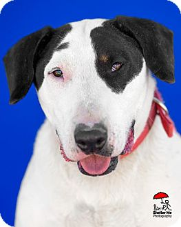 Bull Terrier Dog for adoption in Yoder, Colorado - Snoopy aka Snoop Dogg