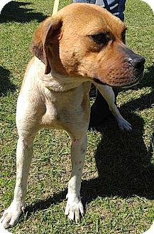 Boxer Mix Dog for adoption in Camilla, Georgia - Dell
