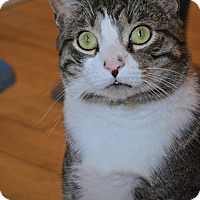 Domestic Shorthair Cat for adoption in Union, New Jersey - Gimli, sweet adult cat