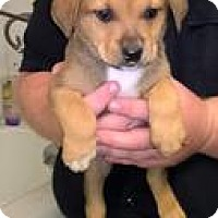 Adopt A Pet :: Lab mix pups--arriving soon in NH! - Chichester, NH