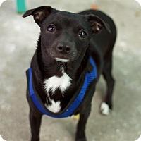 Adopt A Pet :: Joyce - Los Angeles, CA