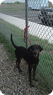 Plott Hound Mix Dog for adoption in Mt. Gilead, Ohio - Pudding