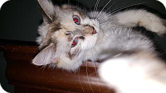 Siamese Kitten for adoption in Albemarle, North Carolina - Macy