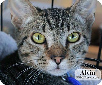 Domestic Shorthair Kitten for adoption in Temecula, California - Alvin