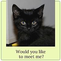 Domestic Shorthair Kitten for adoption in Bloomington, Minnesota - Toby