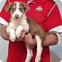 Adopt A Pet :: Shephard - Gahanna, OH