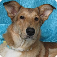 Collie Mix Dog for adoption in Cuba, New York - O'Malley Bassett Buddy