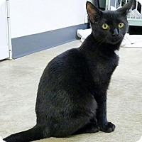 Domestic Shorthair Cat for adoption in Manteo, North Carolina - Nelson