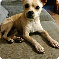 Chihuahua Mix Dog for adoption in Gilmer, Texas - Peanut