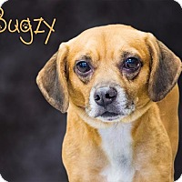Adopt A Pet :: Bugzy - Somerset, PA