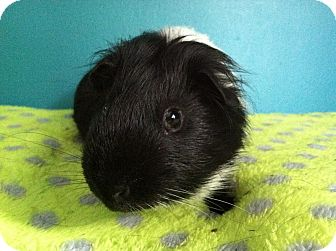 Guinea Pig for adoption in Coral Springs, Florida - Tiger (Neutered)