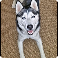 Siberian Husky Dog for adoption in Monument, Colorado - Diesel - Adopted!