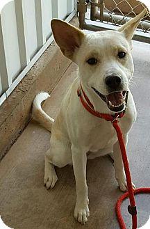 Carolina Dog Mix Puppy for adoption in Tombstone, Arizona - Zara