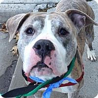 Adopt A Pet :: Domynoh *Adopt or Foster* - Fairfax, VA