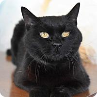 Adopt A Pet :: Black Beauty - Bristol, CT
