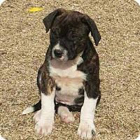 Adopt A Pet :: Stella - Aurora, CO