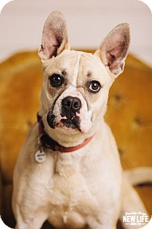 french bulldog rescue oregon chopper adopted dog portland or boxer french 4959