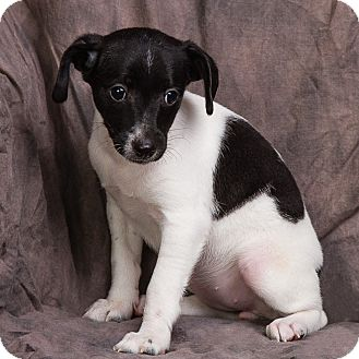 Rat Terrier/Dachshund Mix Puppy for adoption in Anna ...