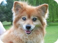 Pomeranian Dog for adoption in Spring City, Tennessee - Elara