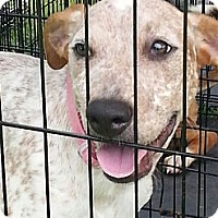 Adopt A Pet :: Allie - Blanchard, OK