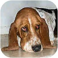 Adopt A Pet :: Apollo - Phoenix, AZ