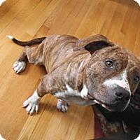 Adopt A Pet :: Dharma - Winchester, VA