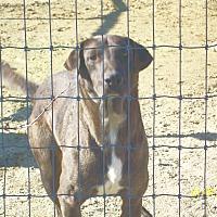 Catahoula Leopard Dog/Labrador Retriever Mix Dog for adoption in Mexia, Texas - Asner