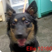 Adopt A Pet :: Ellie - baltimore, MD