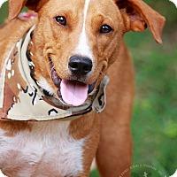 Adopt A Pet :: Scout - Wilmington, DE
