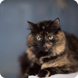 Domestic Longhair Cat for adoption in Denver, Colorado - Tamara