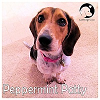 Adopt A Pet :: Peppermint Patty - Novi, MI
