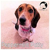 Adopt A Pet :: Peppermint Patty - Novi, MI