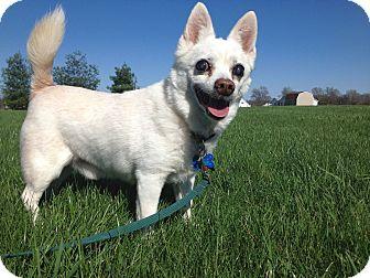 Pomeranian/Chihuahua Mix Dog for adoption in Columbus, Ohio - Jupiter